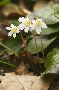 Oconee bell flowers (Shortia galacifolia) in bloom von Panoramic Images