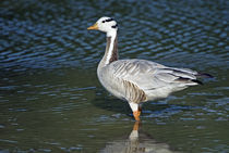 Close-up of a Bar-Headed goose (Anser indicus) in water von Panoramic Images