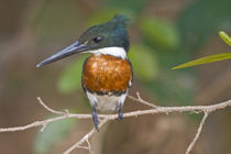 Close-up of an Amazon kingfisher (Chloroceryle amazona) by Panoramic Images