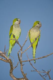 Pair of Monk parakeets (Myiopsitta monachus) perching on a branch von Panoramic Images