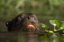 Close-up of a Giant otter (Pteronura brasiliensis) by Panoramic Images