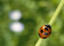 Ladybug on a stem von Panoramic Images