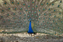 Peacock displaying its plumage by Panoramic Images