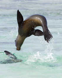 Galapagos sea lion (Zalophus wollebaeki) jumping into the sea by Panoramic Images