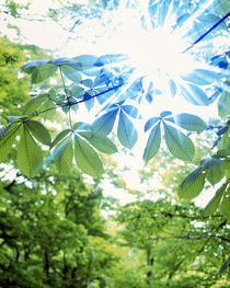 Green and blue leaves with brilliant light radiating through von Panoramic Images