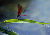 Dragonfly perching on grass by Panoramic Images