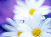 Close up of daisies with purple background von Panoramic Images