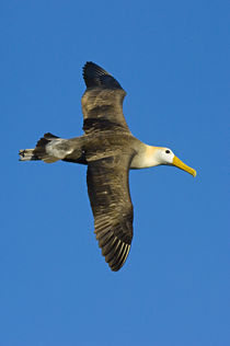 Waved albatross (Diomedea irrorata) flying in the sky by Panoramic Images