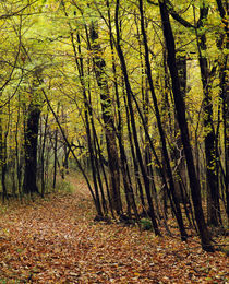 Forest trail through autumn color trees von Panoramic Images