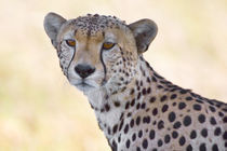 Close-up of a cheetah by Panoramic Images