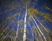 Low angle view of birch trees, Iwate Prefecture, Honshu, Tohoku Region, Japan von Panoramic Images
