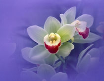 Waxy white orchids with fuchsia centers floating in purple water by Panoramic Images