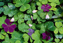 Wood Sorrel Plants (Oxalis Oregana) von Panoramic Images
