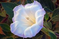 Sacred Datura: Vision Quest by Jennifer Nelson