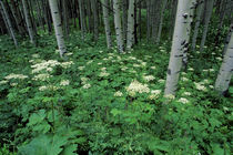 Aspen Grove summer by Barbara Magnuson & Larry Kimball