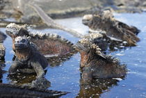 Group of Marine Iguana (Amblyrhynchus cristatus) bathing in the water, Ecuador, Galapagos Archipelago, Isabela Island. by Sami Sarkis Photography