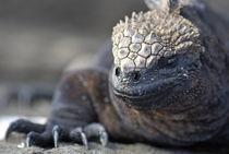 Marine Iguana (Amblyrhynchus cristatus) on rock, close-up - Ecuador, Galapagos Archipelago, Isabela Island. by Sami Sarkis Photography