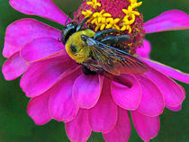 Bumblebee on Pink Zinnia Flower by Deborah Willard