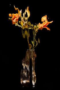 Lily Distortion 176R von Thom Gourley