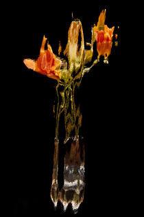 Lily Distortion 185L von Thom Gourley