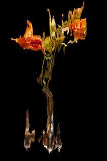 Lily Distortion 192L von Thom Gourley