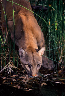 Mountain Lion by Barbara Magnuson & Larry Kimball