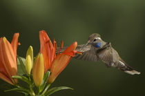 Blue-throated Hummingbird by Barbara Magnuson & Larry Kimball