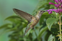 Broad-tailed Hummingbird von Barbara Magnuson & Larry Kimball
