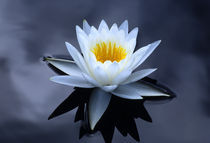 Water Lily by Barbara Magnuson & Larry Kimball