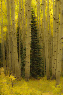 In an Aspen Forest von Barbara Magnuson & Larry Kimball