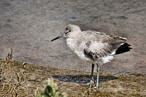 Willet, Shorebirds of Southern California by Eye in Hand Gallery