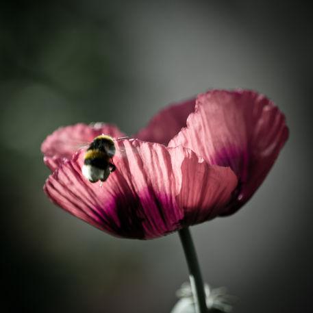 12b-poppy-pollination-10x10