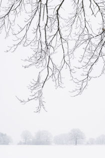 Frosty branches and trees on a foggy morning. by Tom Hanslien