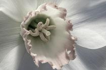 Daffodil Semi by Janice Sullivan