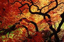 Japanischer Fächerahorn 1 von Almut Rother