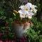 Cattleya-pot