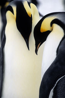 Emperor Penguin Couple by Wolfgang Kaehler