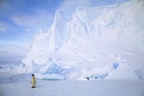 Emperor Penguin in front of Iceberg by Wolfgang Kaehler