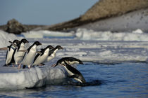 Adelie Penguins Jumping into Water by Wolfgang Kaehler