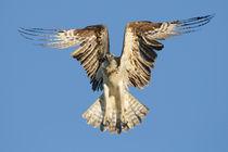 Osprey by Ben Bolden