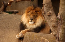 Lion at Rest by Joseph Ullrich