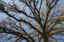 Mighty Oak in Spring by Lee Rentz