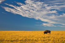 American Bison on the High Plains by Lee Rentz