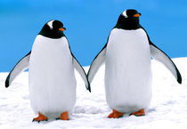 Gentoo Penguins Holding Hands by Lee Rentz