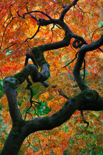 Japanese Maple in Autumn by Lee Rentz