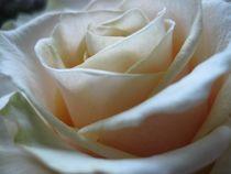 Rosenblüte  von Silvia Stödter