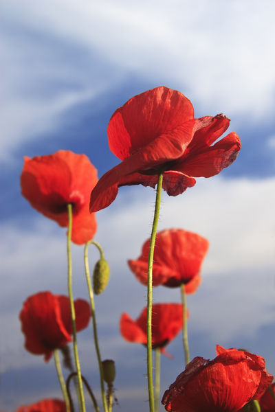Red-poppies-vertical