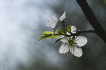 blooming apple-tree von Darius Norvilas