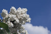 blooming white lilac by Darius Norvilas