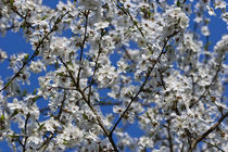 cherry blossom by Darius Norvilas